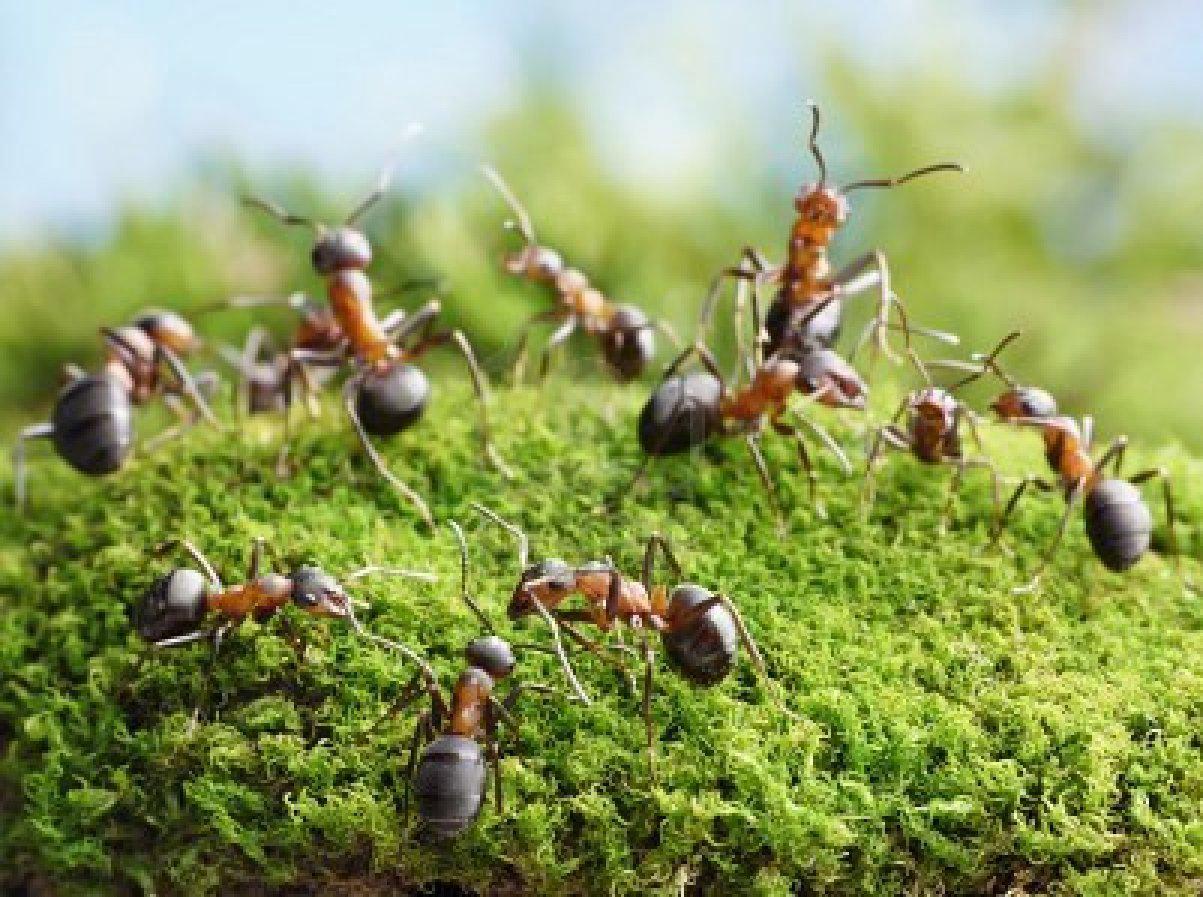 Ant Rid Natural